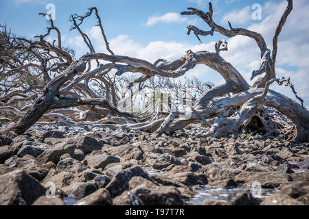 Giant sun-bleached driftwood on Jekyll Island's Driftwood Beach on the Atlantic Coast of Southeast Georgia. (USA) - Stock Image