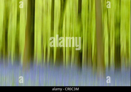 Photographic impression of bluebell woodland in spring. Ashridge Forest in Hertfordshire, England. May. - Stock Image