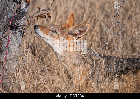 Profile of a Black-backed jackal, Canis mesomelas, sniffing a scent mark on a tree marking territory in Etosha, Namibia, Africa - Stock Image