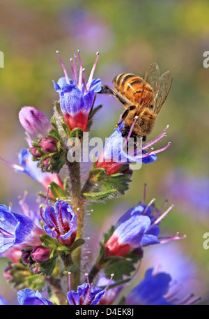 A honey bee gathers pollen, from a purple blossom. USA Bee name for flying insects of the superfamily Apoidea. - Stock Image