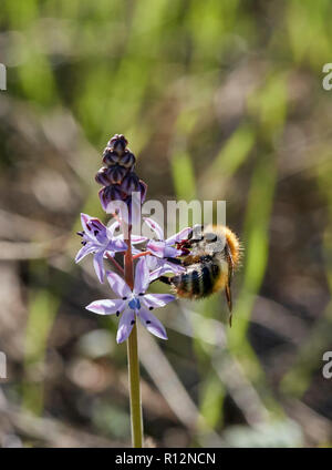 Bumblebee on Autumn Squill at its only recorded location in Surrey. Hurst Park, East Molesey, England. - Stock Image