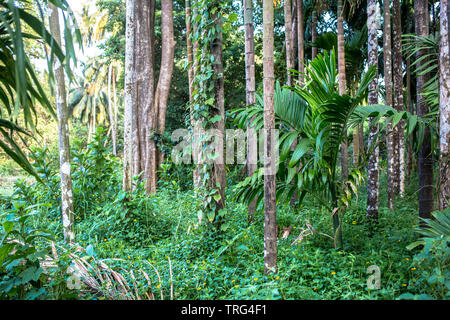 Jungle view of palm trees - Stock Image