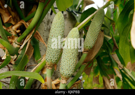 cheese plant plants fruit fruits Monstera deliciosa fruiting - Stock Image