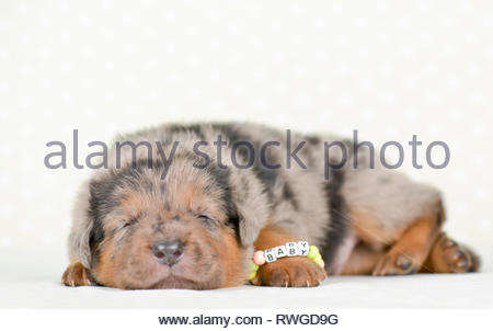 Old German Shepherd Dog. Puppy (4 weeks old) sleeping. Studio picture against a white background. Germany - Stock Image