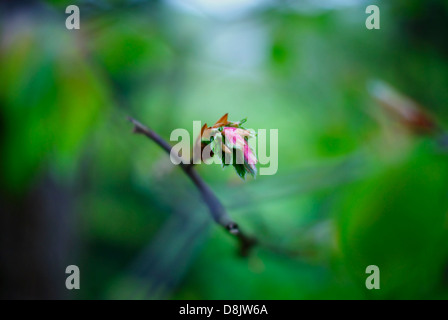 Beautiful young Beech leaves emerging and unfurling in Springtime - low light with artistic bokeh - Fagus sylvatica. - Stock Image
