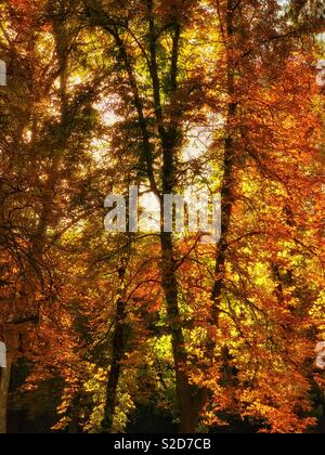 The colours of early autumn. Green leaves turn to orange, then brown. An image with potential multiple uses. Photo Credit - © COLIN HOSKINS. - Stock Image