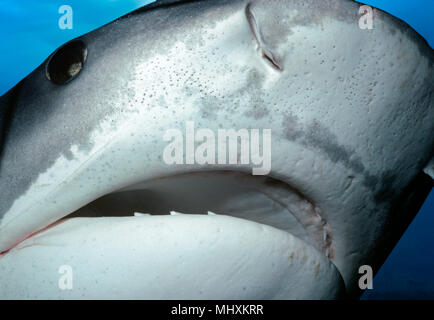 Face of a Tiger Shark (Galeocerdo cuvier). Egypt, Red Sea.    Image digitally altered to remove distracting or to add more interesting background. The - Stock Image