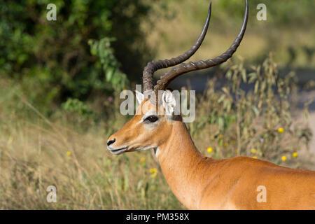Impala, (Aepyceros melampus), Ram, Male Impala - Stock Image