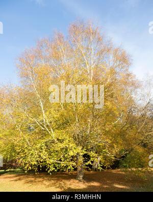 Erman birch tree,  betula ermanii x pubescens, National arboretum, Westonbirt arboretum, Gloucestershire, England, UK - Stock Image