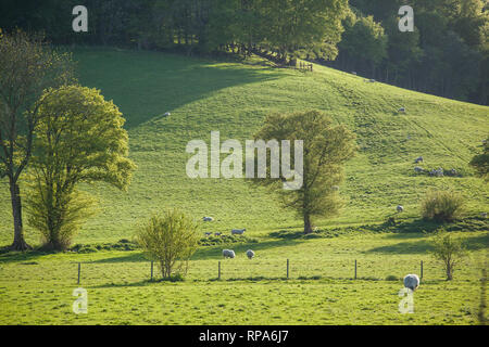Sheep and new-born lambs graze below Beech Woods near Skirmett, Buckinghamshire. - Stock Image