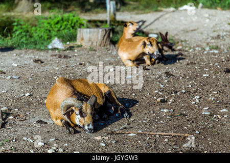 Male Cameroon sheep (Ovis aries) lying on the ground with female cameroon sheeps in the background. - Stock Image