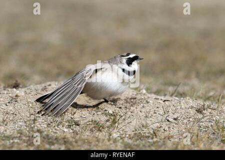Horned Lark wing stretch after dust bath - Stock Image