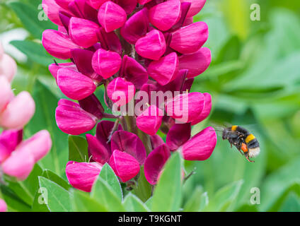 Buff-tailed bumblebee (Bombus terrestris) flying towards a pink Lupin (Lupinus) flower in Spring (May) in West Sussex, UK. - Stock Image