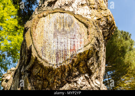 Tree sap, Xylem sap, Phloem sap, blood of tree, tree blood, bleeding tree, Tree sap flows through sapwood, which produces carbon dioxide, cut tree, - Stock Image