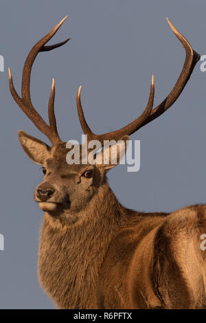 Red deer stags in the rutting season in the Scottish Highlands - Stock Image