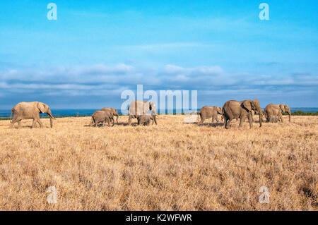 Herd of African Elephants, Loxodonta africana, walking across dry grass in Ol Pejeta Conservancy, Samburu, Northern Kenya, East Africa - Stock Image