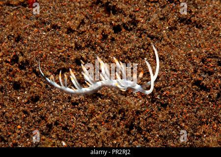 Nudibranch, Flabellina bicolor. Tulamben, Bali, Indonesia. Bali Sea, Indian Ocean - Stock Image