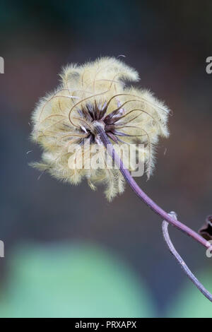 Feathery autumn seed head of the hardy, large flowered climberm Clematis 'H.F.Young' - Stock Image