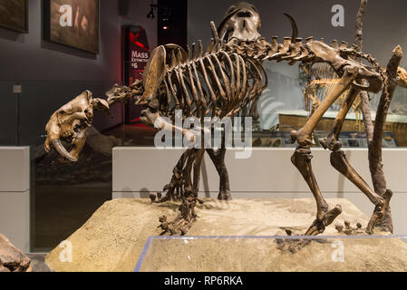 Fossil skeleton of a Saber-toothed Cat Smilodon. Mammals of Ice Age exhibit. The Field Museum. Chicago, Illinois, USA. - Stock Image