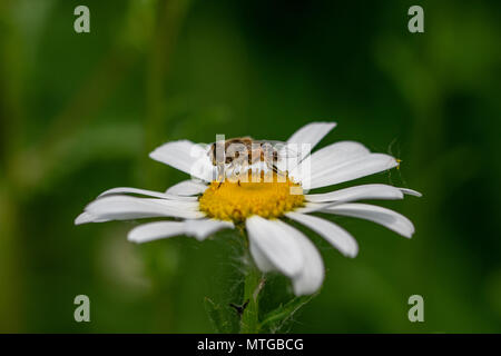Bee mimic insect collecting pollen from a daisy flower - Stock Image