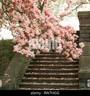 Blooming Magnolia Tree and Stone Steps - Stock Image