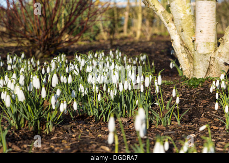 Snowdrops in flower - Stock Image