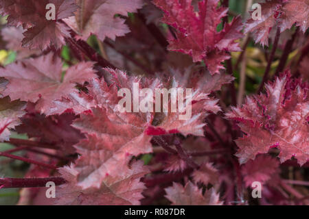 A variety of Huechera / Coral Bells in a garden. - Stock Image
