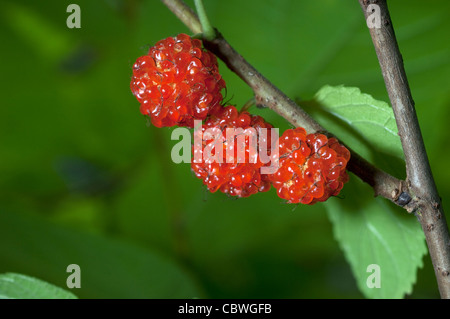 Paper Mulberry (Broussonetia kazinoki Kozo), ripe fruit on a twig. - Stock Image