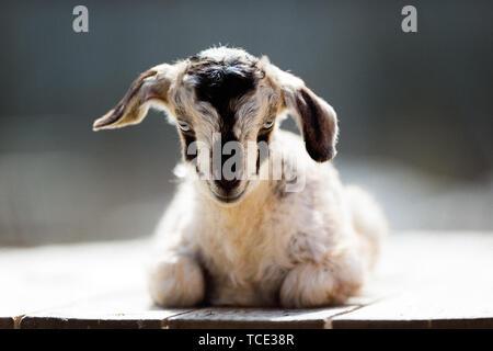 Newborn goat kid sitting in the sun - Stock Image