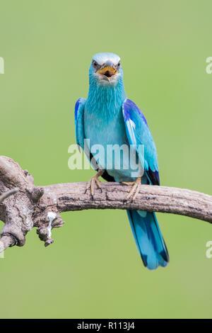 European Roller (Coracias garrulus) calling  on a branch, Hortobagy National Park, Hungary - Stock Image