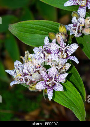 Clusters of purple spotted white flowers of the hardy perennial Japanese toad lily, Tricyrtis hirta - Stock Image