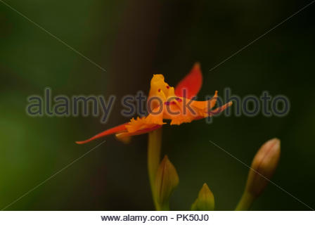 Sideways view of Miniature Orchid - Stock Image