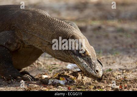 Komodo dragon, Varanus komodensis, Komodowaran, dragon looking for food scraps on Rinca Island, Komodo National - Stock Image
