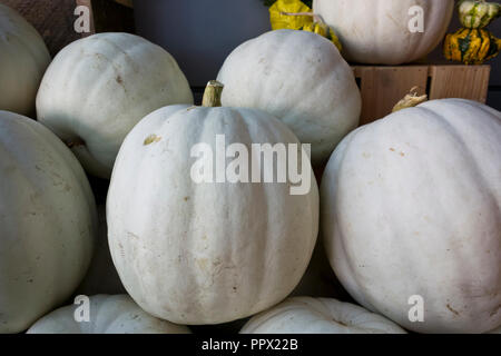 Group of white pumpkins for sale in the Fall. - Stock Image