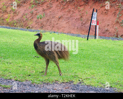 Juvenile southern cassowary (Casuarius casuarius) ignoring private property keep out sign, Etty Bay, near Innisfail, Queensland, Australia - Stock Image