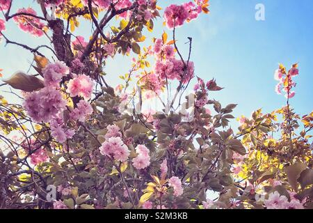 Looking up at the sunny sky, through cherry blossom flowers. - Stock Image
