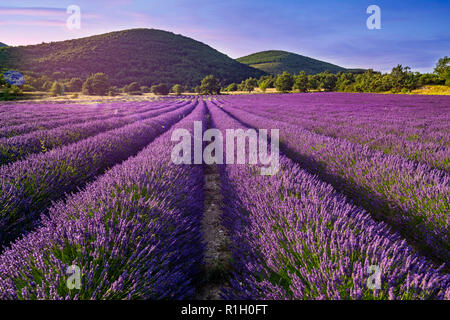 Lavender field, Valensole, Provence, France - Stock Image