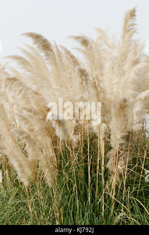Pampas grass Pampasgrass grasses Cortaderia - Stock Image
