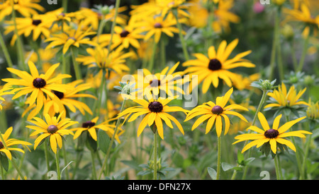 Collection of Rudbeckia flowers with spider's web - Stock Image