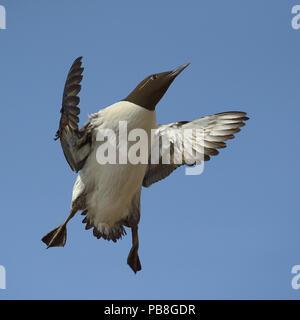 Guillemot (Uria aalge) flying, Hornoya, Varenger, Norway, April. - Stock Image