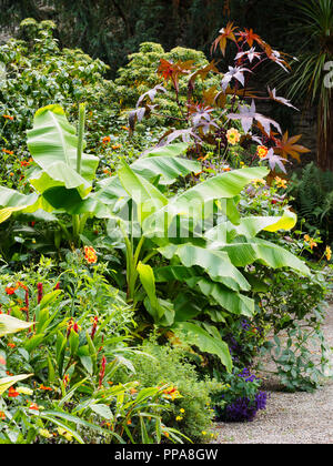 Broad leaves of the hardy banana, Musa basjoo, and purple foliage of Ricinus communis 'Purourea' dominate an exotic border planting - Stock Image