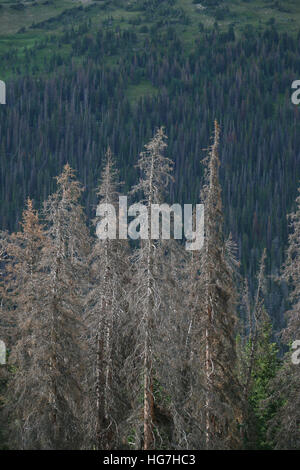 Dead pine trees from Pine borer beetle Rocky Mountain National Park Colorado - Stock Image