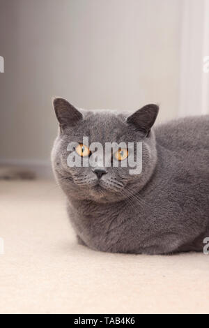 British Blue Shorthair Cat, Portrait single male adult, Sitting at home, Looking at camera, England, UK - Stock Image