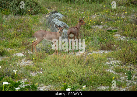 Steenbok (Raphicerus campestris), a common small antelope of southern and eastern Africa, seen here on Robben Island, Cape Town, South Africa - Stock Image