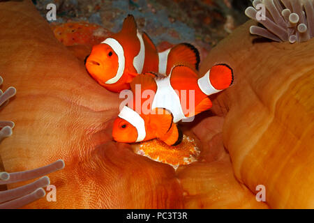 Pair of Clown Anemonefish, Amphiprion percula, tending eggs laid at base of the host Magnificent Anemone, Heteractis magnifica. Tulamben, Bali. - Stock Image