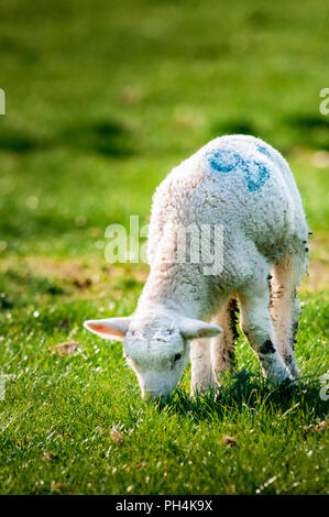 A young lamb (Ovis aries) in field eating grass on a late spring morning - Stock Image