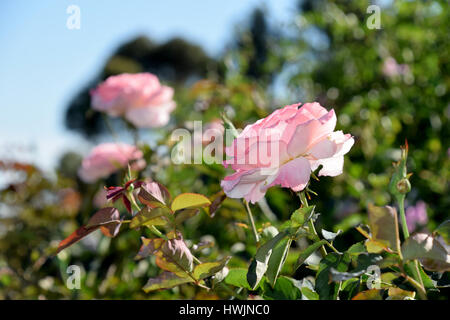 pinks roses in a garden - Stock Image