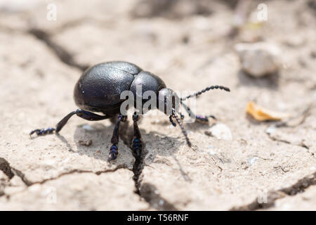 Bloody-nosed beetle (Timarcha tenebricosa) at a Surrey chalk grassland site, UK - Stock Image