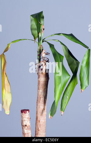 dried Yucca - Stock Image