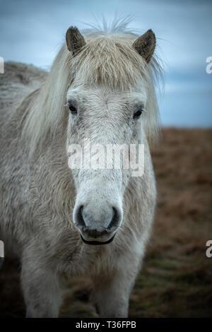 Wild Icelandic Horses - Stock Image